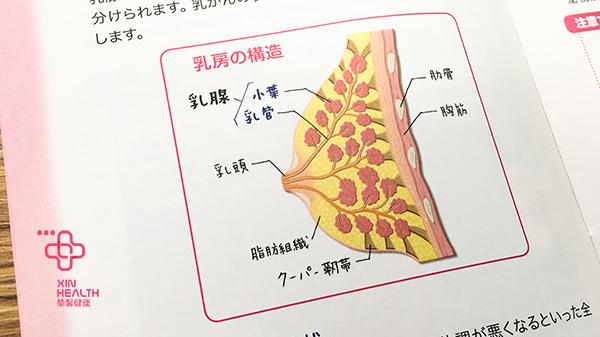 乳腺生理结构图