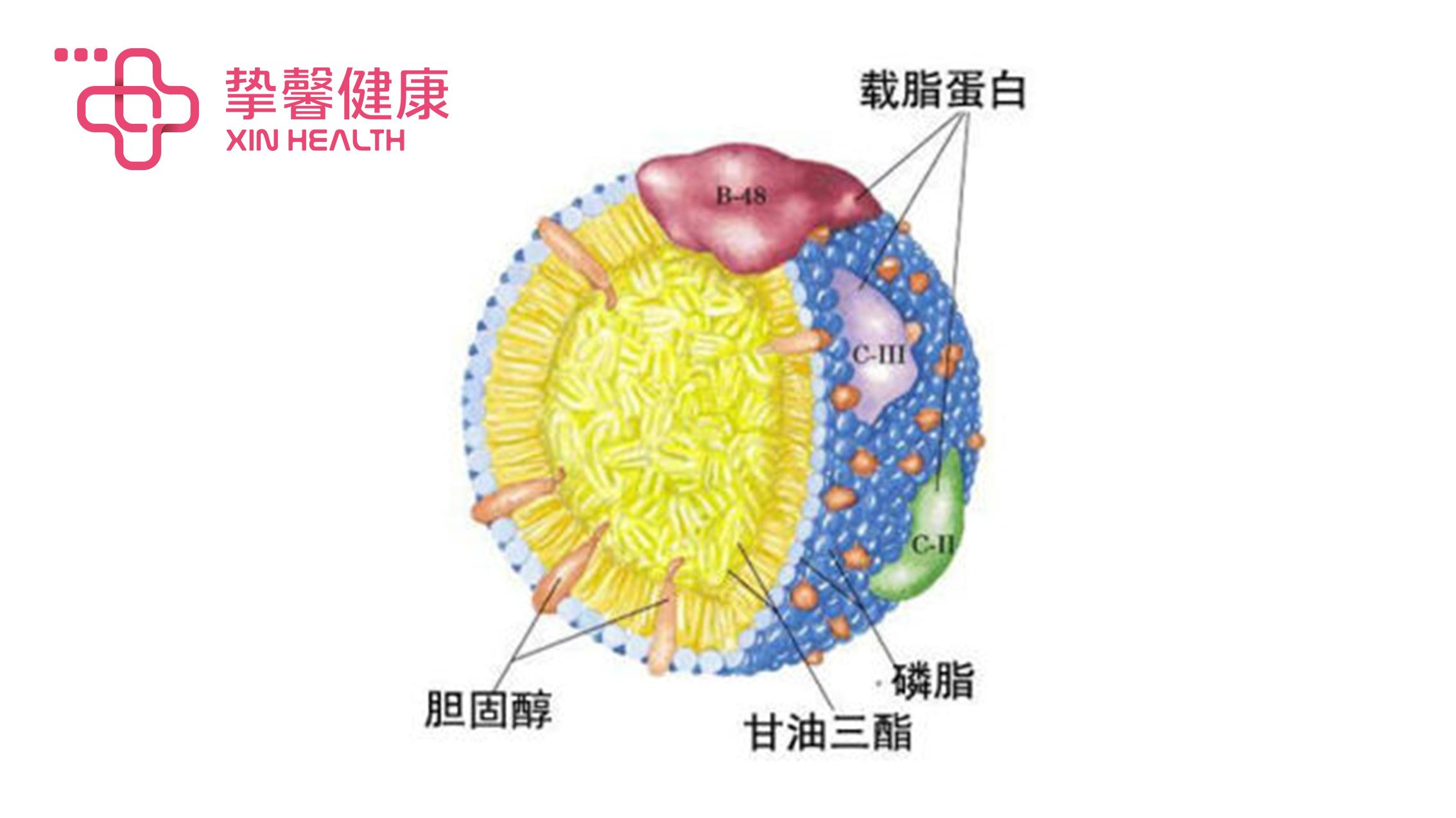 肝脏剖析图