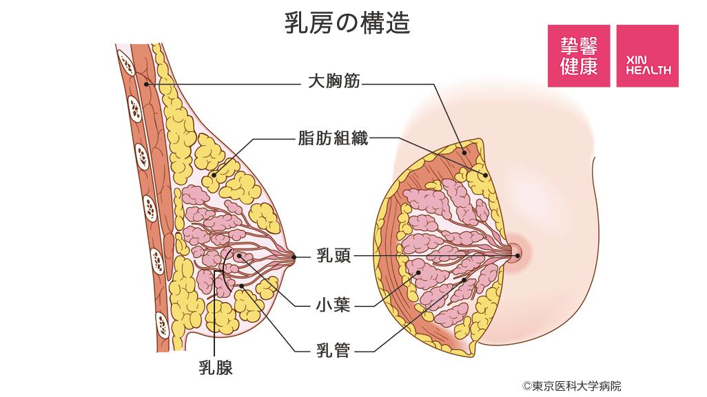 乳房剖面结构图