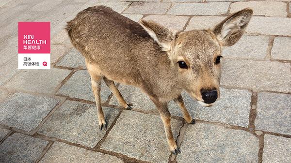 去日本奈良看小鹿