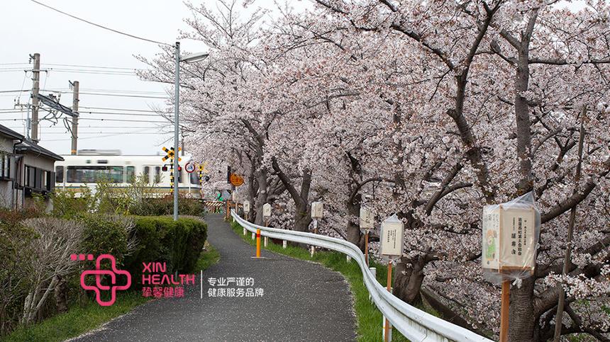 日本樱花季樱花树