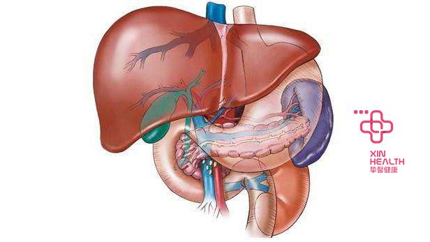 人体重要器官——肝