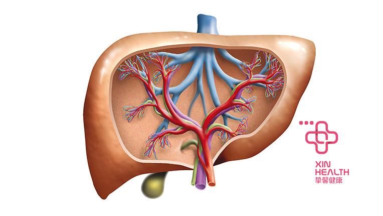 肝脏的内部血管构造
