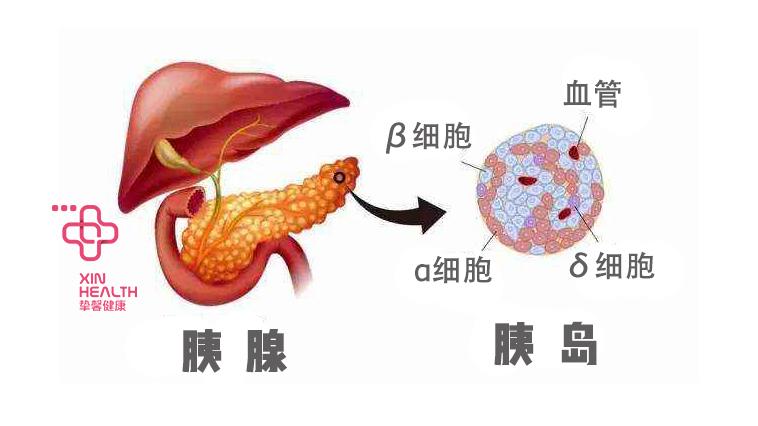 胰岛素由胰腺分泌