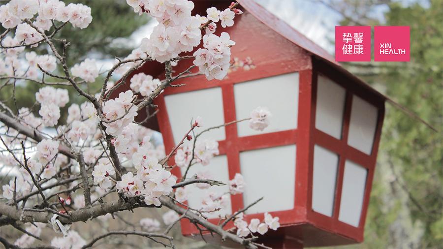 三月、四月是日本樱花季