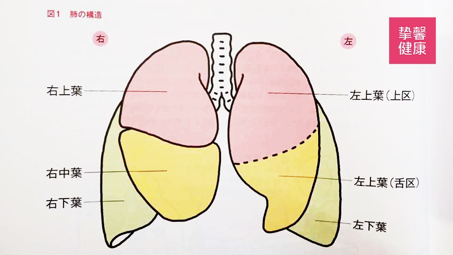 肺部结构构造图
