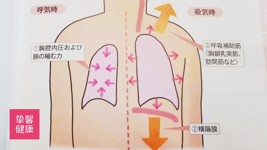肺部吸气呼气时胸壁运动示意图