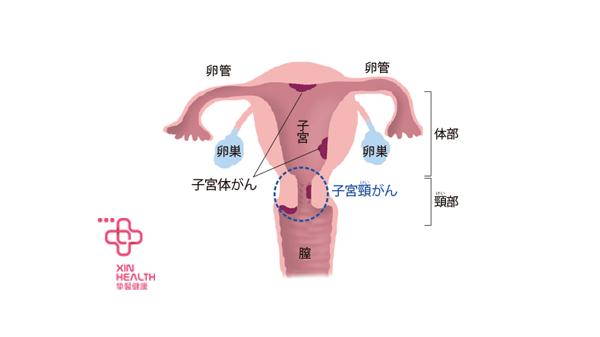 子宫、宫颈、卵巢生理结构图