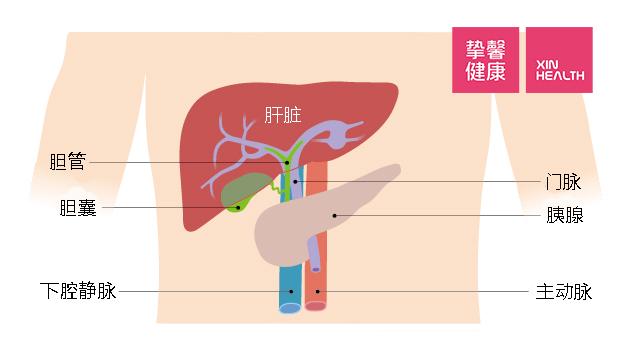 肝脏所在位置