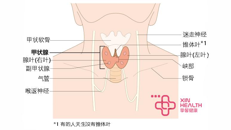 甲状腺结构图